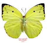 Catopsilia pomona (Thailand)