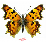 Polygonia c-album (Korea) A2
