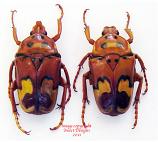 Anisorrhina laeviplaga (Tanzania)