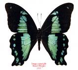Papilio nireus (Tanzania)