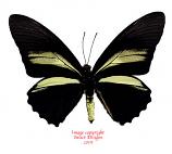 Battus crassus (Peru) female A-