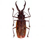 Macrodontia cervicornis (Peru) A1 and A1-/A-