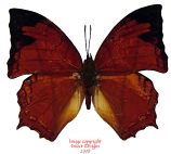 Charaxes pleione (Tanzania) A1-