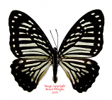 Arisbe macarius palawanicola (Philippines)