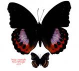 Hypolimnas pardarus pandarus (Ceram)