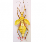 Heteropteryx dilatata - yellow (Malaysia)