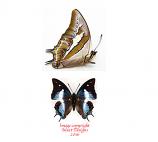 Polyura schreiber luzonicus (Philippines) A-