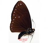 Chilasa paradoxa aenigma f. aenigma (Malaysia) A2