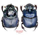 Phanaeus haroldi (Ecuador)