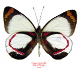 Delias isocharis latiapicalis (Irian) A-