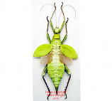 Heteropteryx dilatata - green (Malaysia) A-