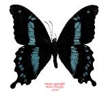 Papilio hornimani (Tanzania) A-