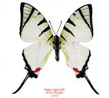 Graphium agetes (Malaysia)