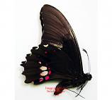 Papilio anchisiades (Colombia)