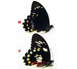 Papilio bridgei (Guadalcanal, Solomons)