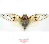 Ayuthia spectabilis (Thailand) A2