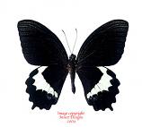 Papilio heringi (Halmahera)