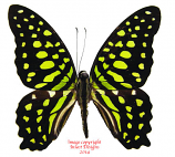 Graphium agamemnon ligatus (Irian) A1 and A-