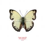Cymothoe consanguis (RCA)