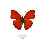 Cymothoe coccinata (RCA)