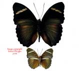 Euphaedra eberti (RCA)