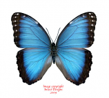 Morpho peleides (Colombia) A1 and A-