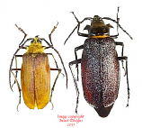 Acanthinodera cummingi (Chile)