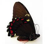 Papilio birchalli (Ecuador) - female