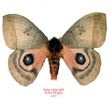 Automeris celata (Costa Rica)