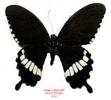 Papilio polytes romulus (Thailand) A2