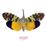 Pyrops viridirostris (Thailand) A2