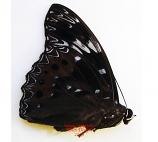 Dichorragia nesimachus peisistratus (Philippines)