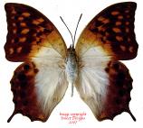 Charaxes acuminatus (Tanzania) A2