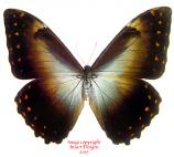 Morpho telemachus martini (Peru) A-