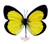 Eurema brigitta (Tanzania) A-