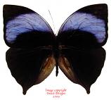 Amathuxidia amythaon (Malaysia)