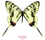 Sericinus telamon koreanus (Korea)