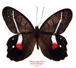 Pierella helvina pacifica (Ecuador)