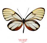 Godyris duillia (Peru)