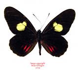 Archonias brassolis cutila (Ecuador)