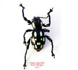 Pachyrrhynchus halconensis (Philippines) A-