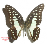 Graphium doson gyndes (Philippines) A-