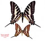 Graphium aristeus nemocrates (Philippines) A-