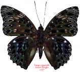 Deichoragia nesimachus deiokes (Malaysia) A-