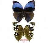 Zeuxidia aurelius aurelius (Malaysia) - pair