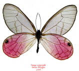 Cithaerias aurorina (Peru) A1 or A-