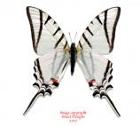 Eurytides protesilaus dariensis (Panama)