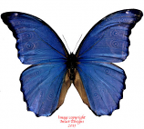 Morpho menelaus julanthiscus (Peru)
