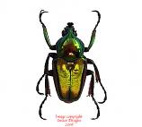 Phaedimus lumawigi (Philippines)