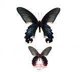 Papilio alcmenor f. leucocelis (Thailand)